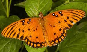 Gulf fritillary butterfly feeding on yellow passion vine.