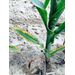 Potassium Deficiencies in Corn and Soybean