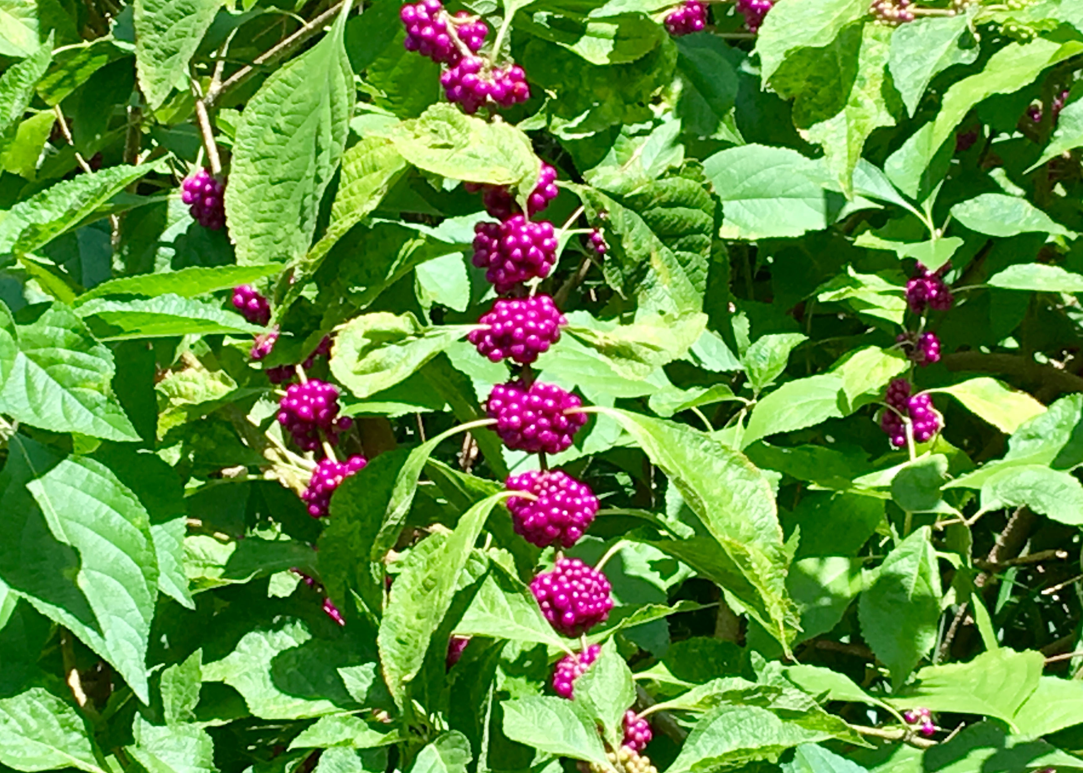American beautyberry have gorgeous purple berries in the fall.