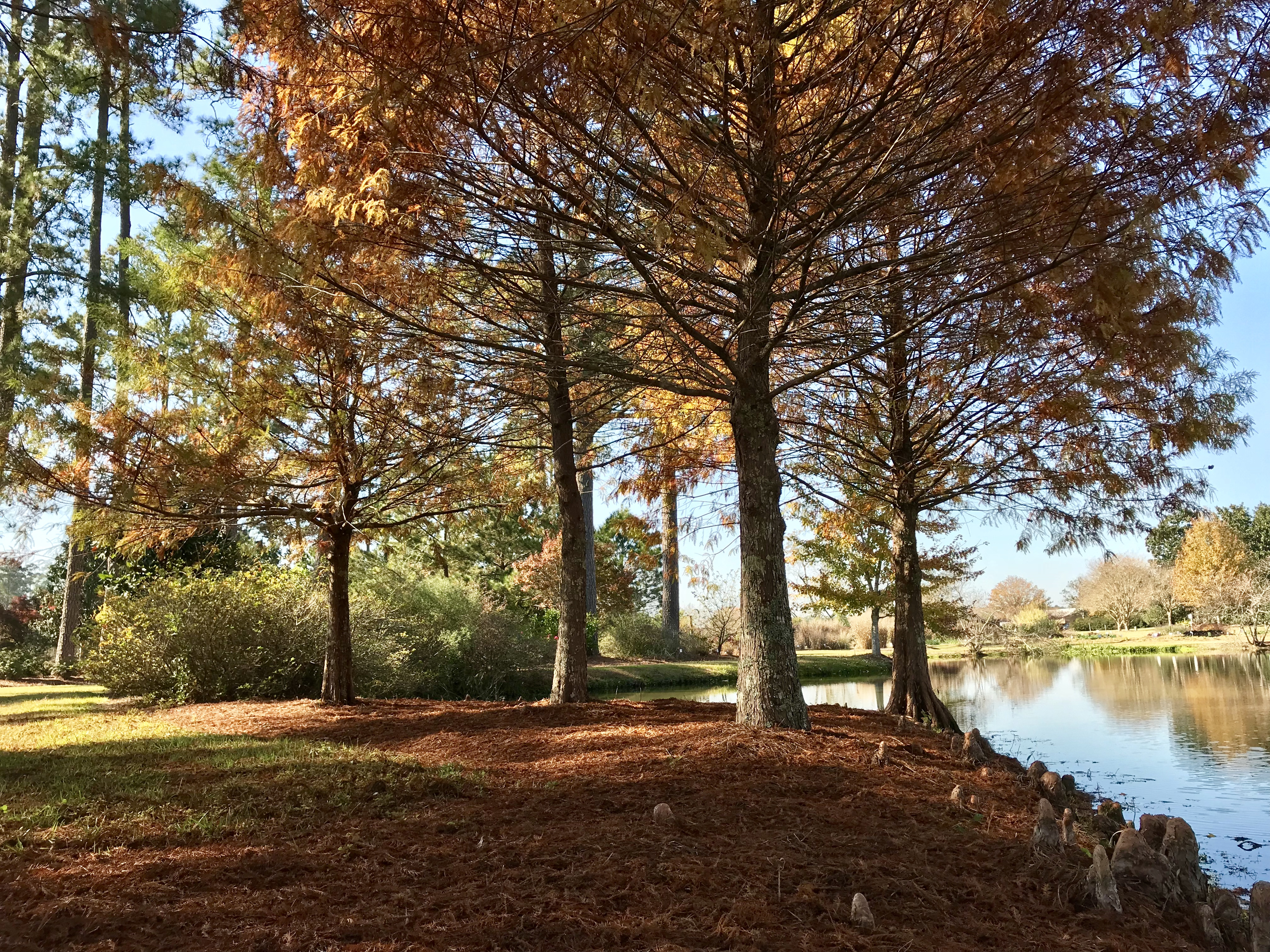 Bald cypress drop their leaves in fall creating a natural mulch.
