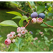 Pruning and Fertilizing Blackberries and Blueberries During the Summer