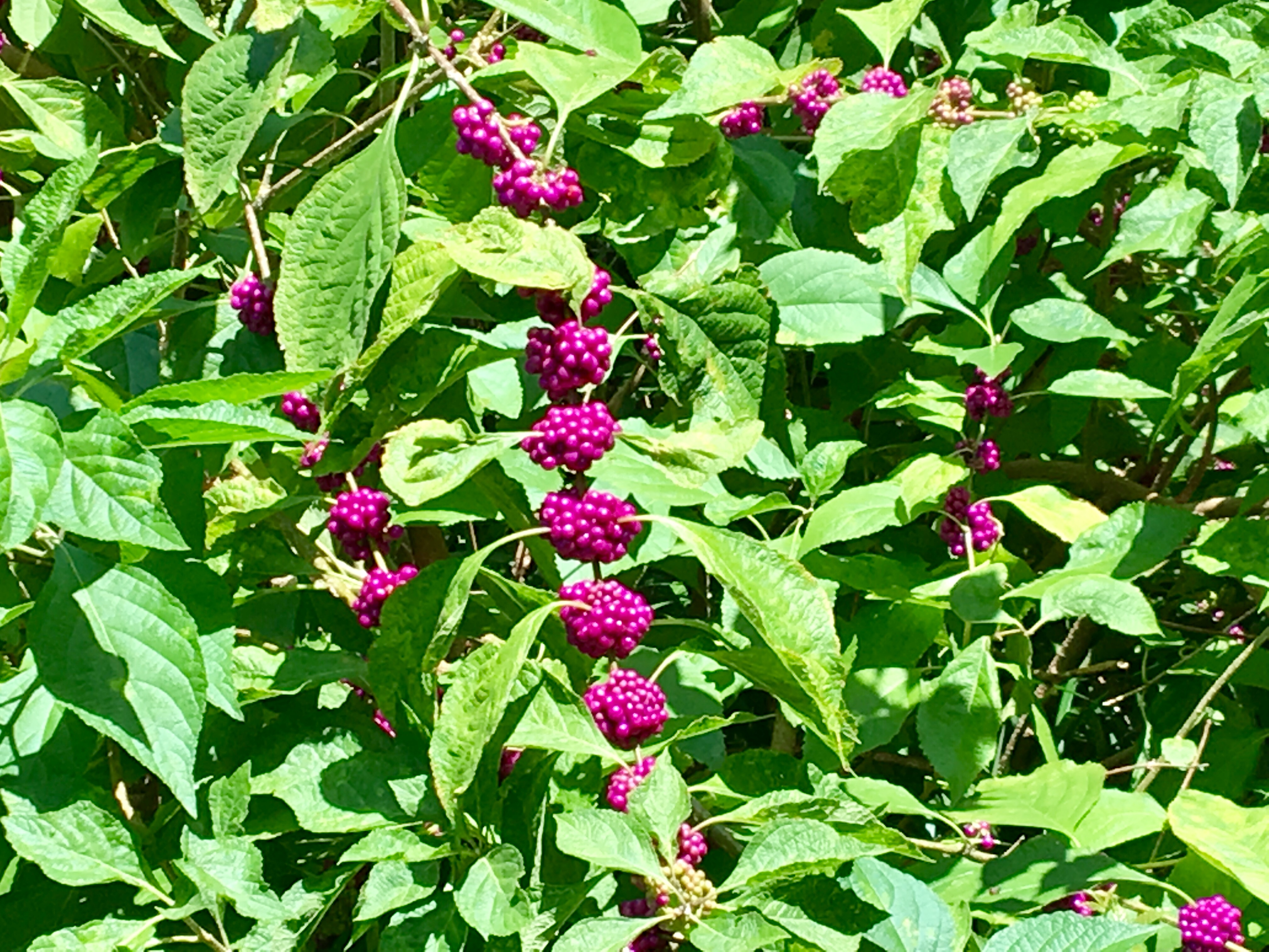 beautyberry berries on branch.JPG thumbnail