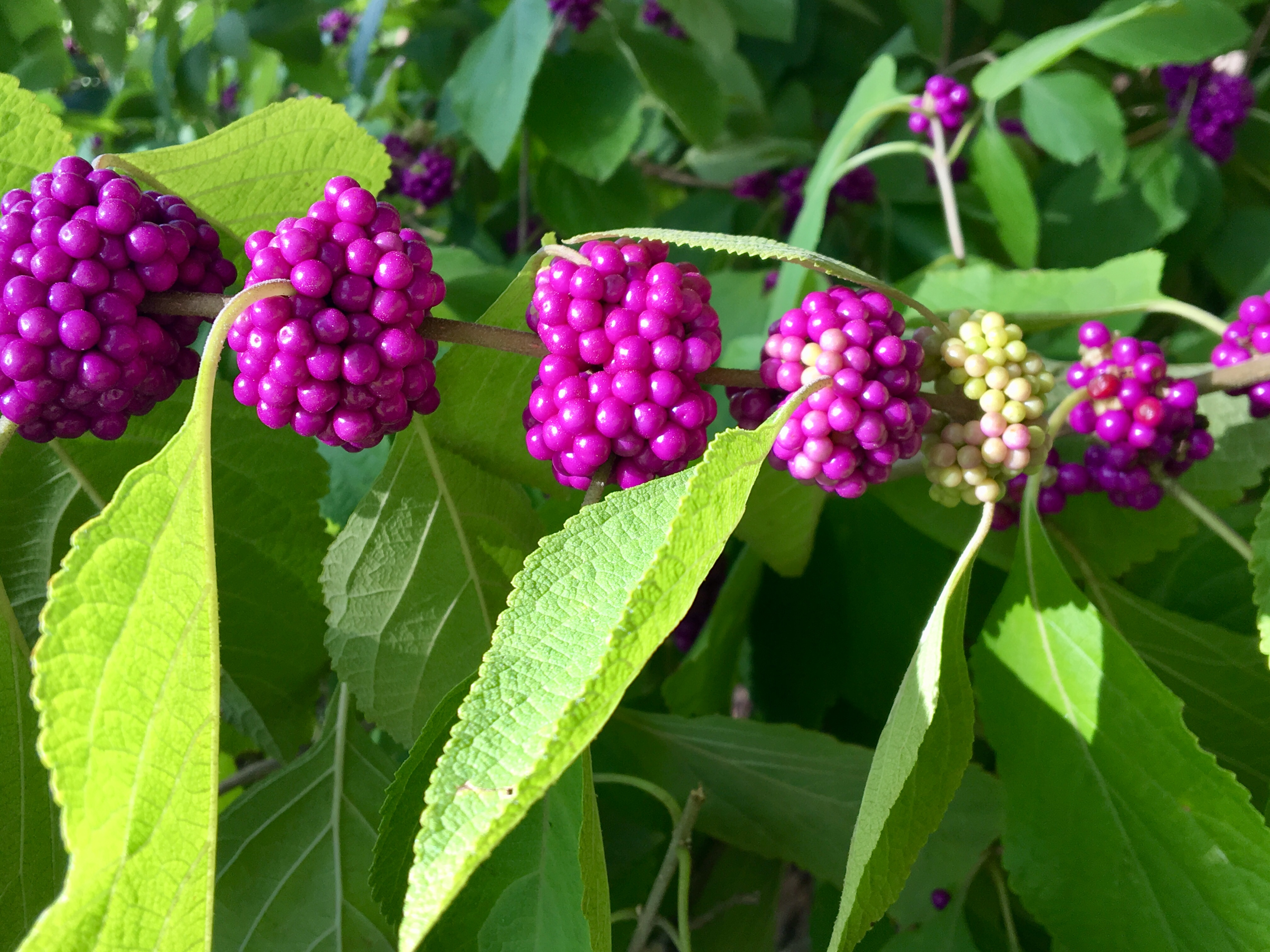 beautyberry closeup.JPG thumbnail