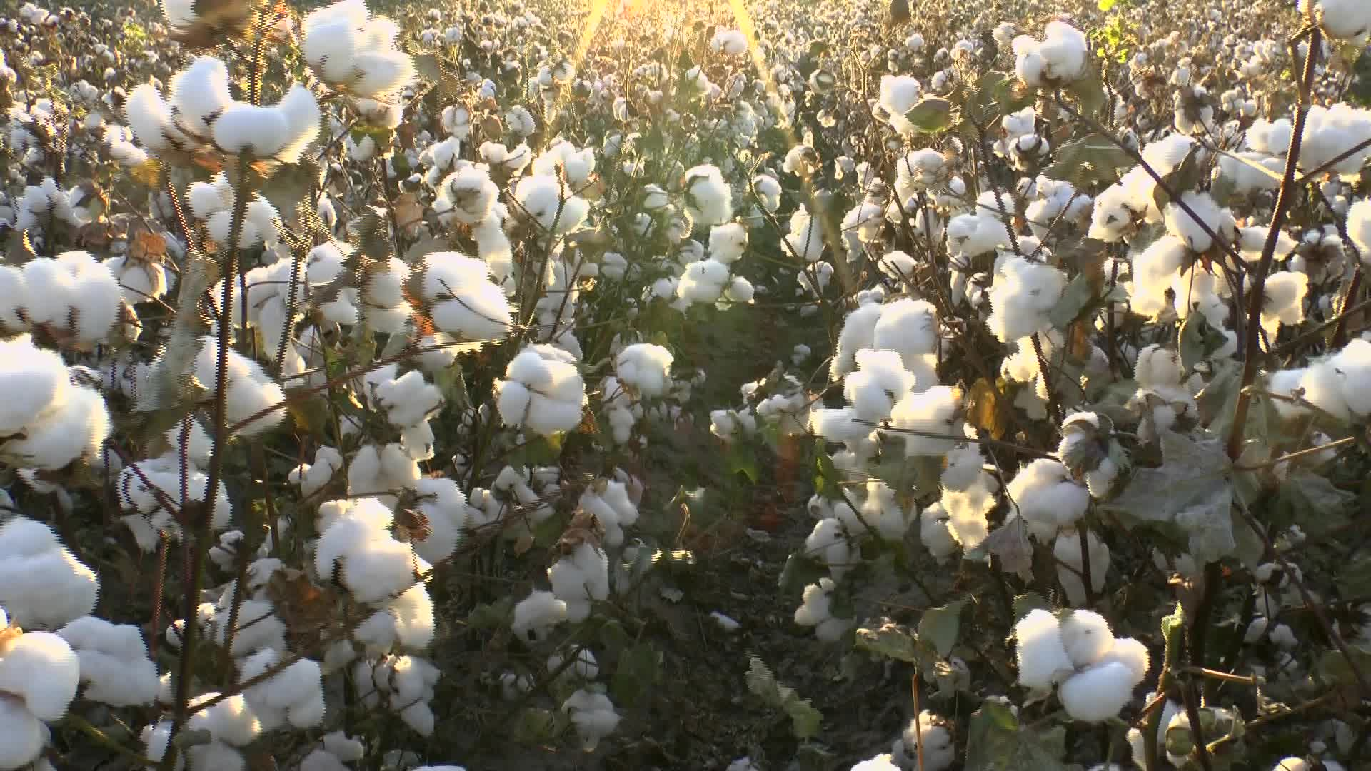 cotton-field.jpeg thumbnail
