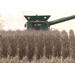 Louisiana corn harvest producing good results