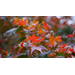 Japanese maples provide accent to landscapes