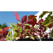 Get It Growing: Flamethrower coleus is latest Super Plant