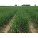Evaluating the Operational Efficiency and Cost Structure of Wide Row Sugarcane Production
