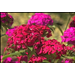 Amazon dianthus is fall La. Super Plant