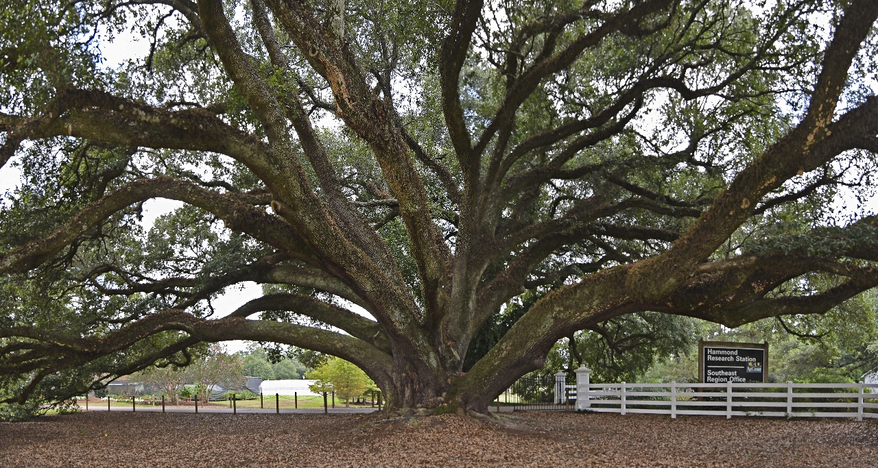 Edna Szymoniak Oak at the entrance to the LSU AgCenter Hammond Research Station  Photo by William Guion.jpg thumbnail