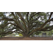 Live oaks have long lives