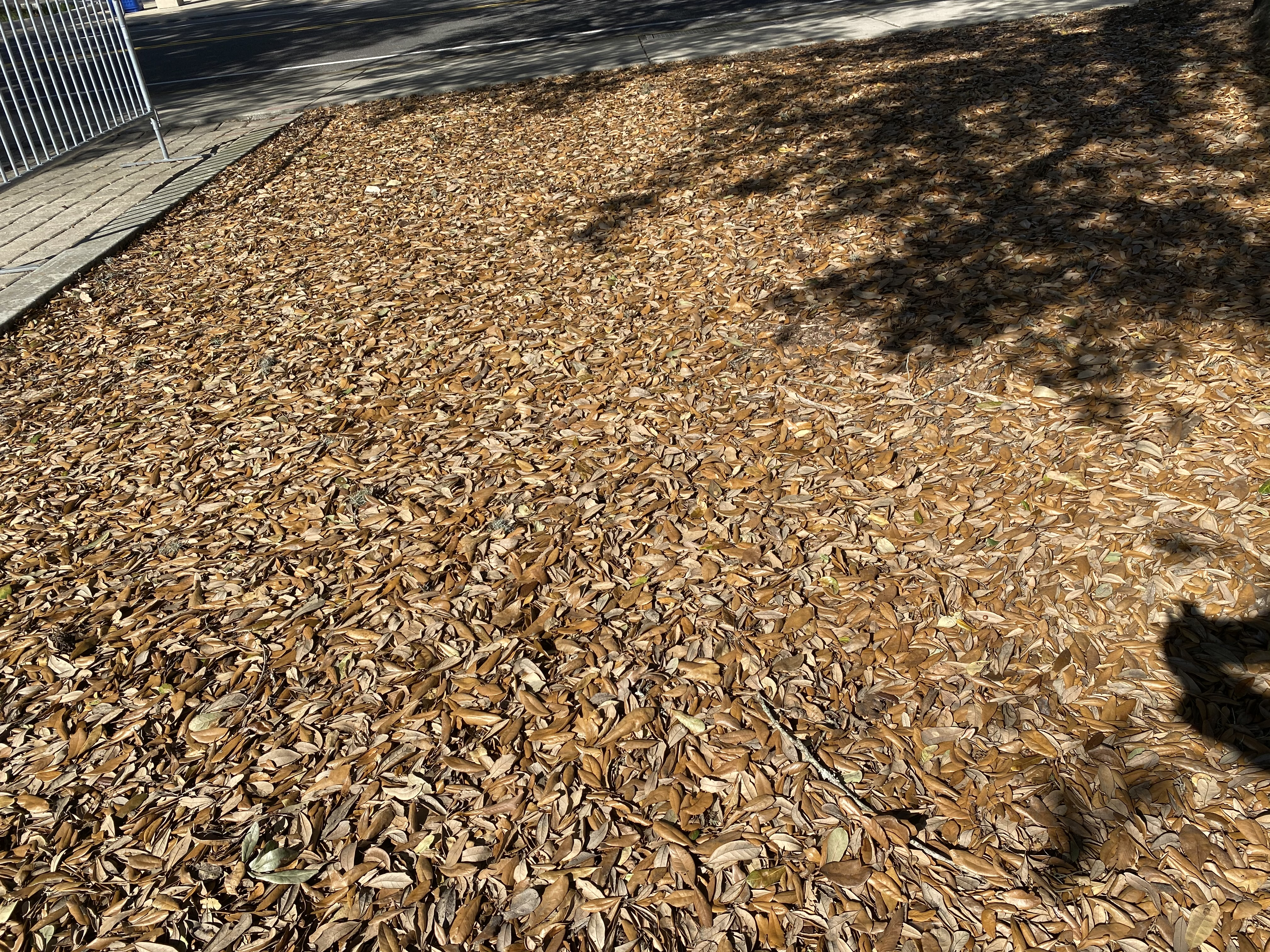 Live oaks shed their leaves every year in late winter..JPG thumbnail