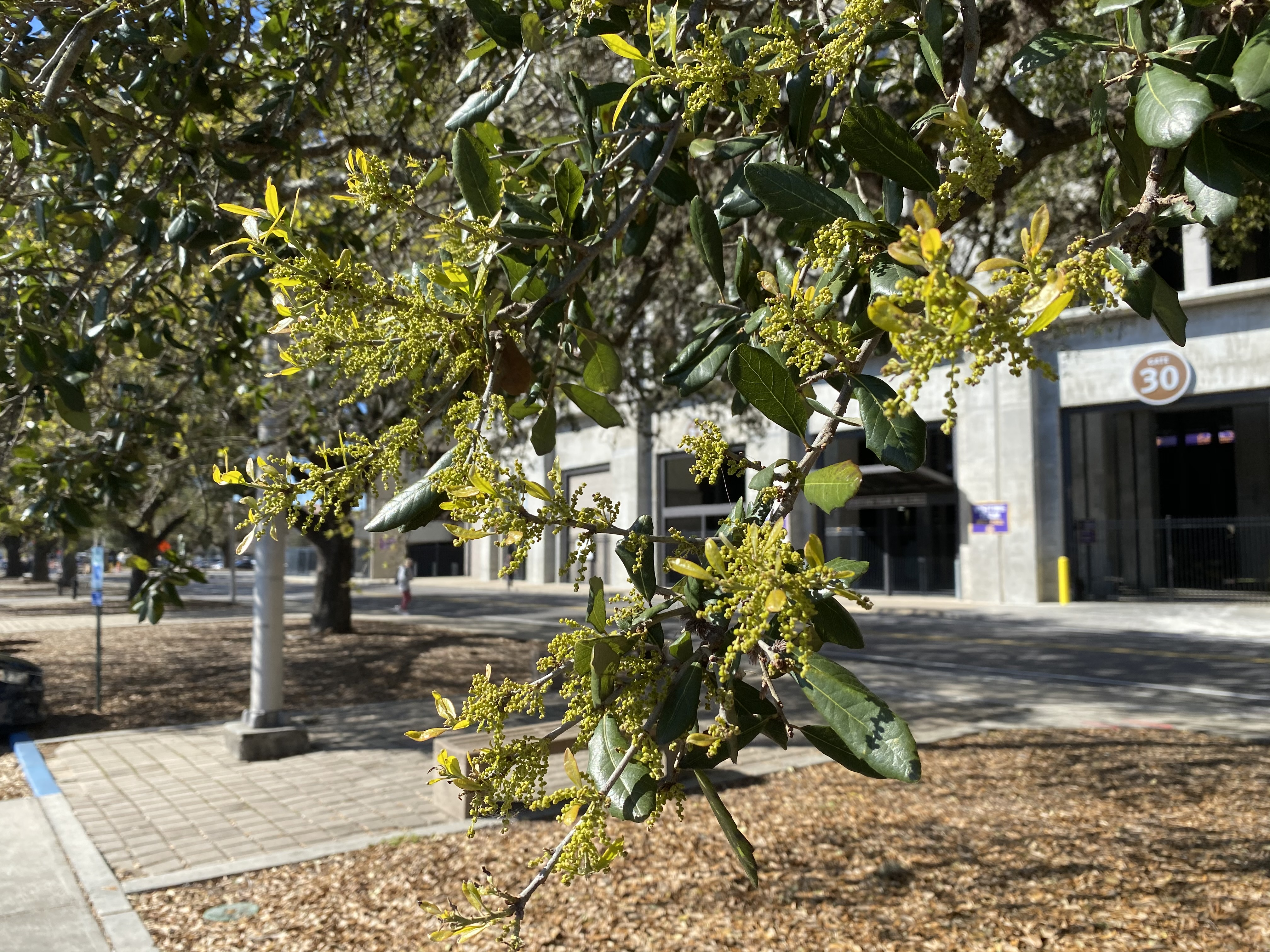 When shedding leaves live oaks simultaneously produce catkins or male flowers that creates copious amounts of pollen..JPG thumbnail