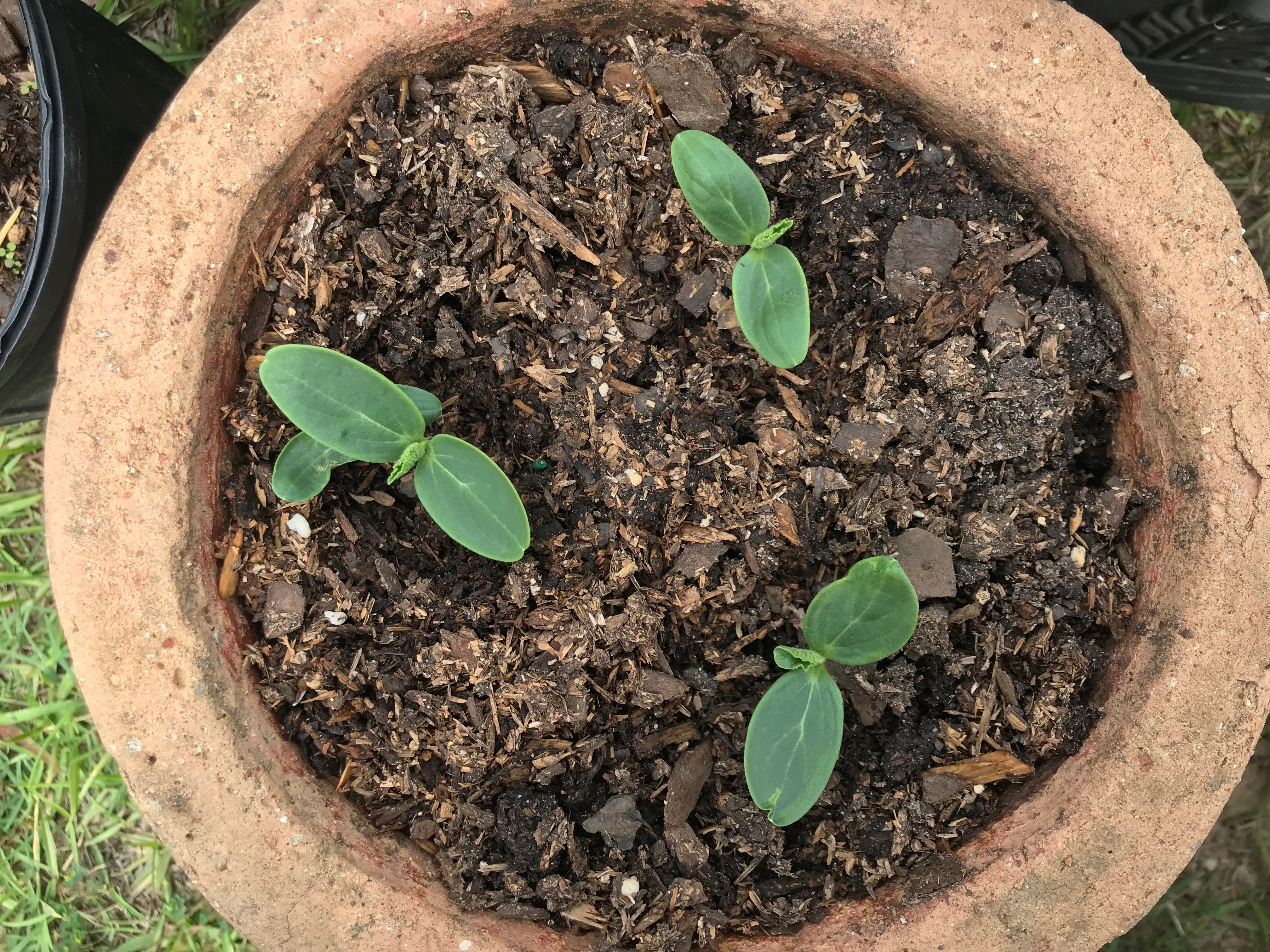 cucumber seedlings.JPG thumbnail