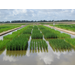 AgCenter experts review 2020 rice season
