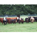 LSU AgCenter virtual beef, forage field day goes live Sept. 17