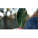 Get It Growing: How to treat scale on magnolia leaves