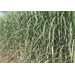 Sugarcane crop progessing well