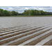 Impact of Flooding on Louisiana Corn Fields