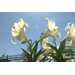 Plant Easter lilies in the garden