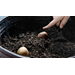 Get It Growing: plant potatoes in containers