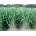 Louisiana Sugarcane Variety Identification Guide 2020: L 11-183