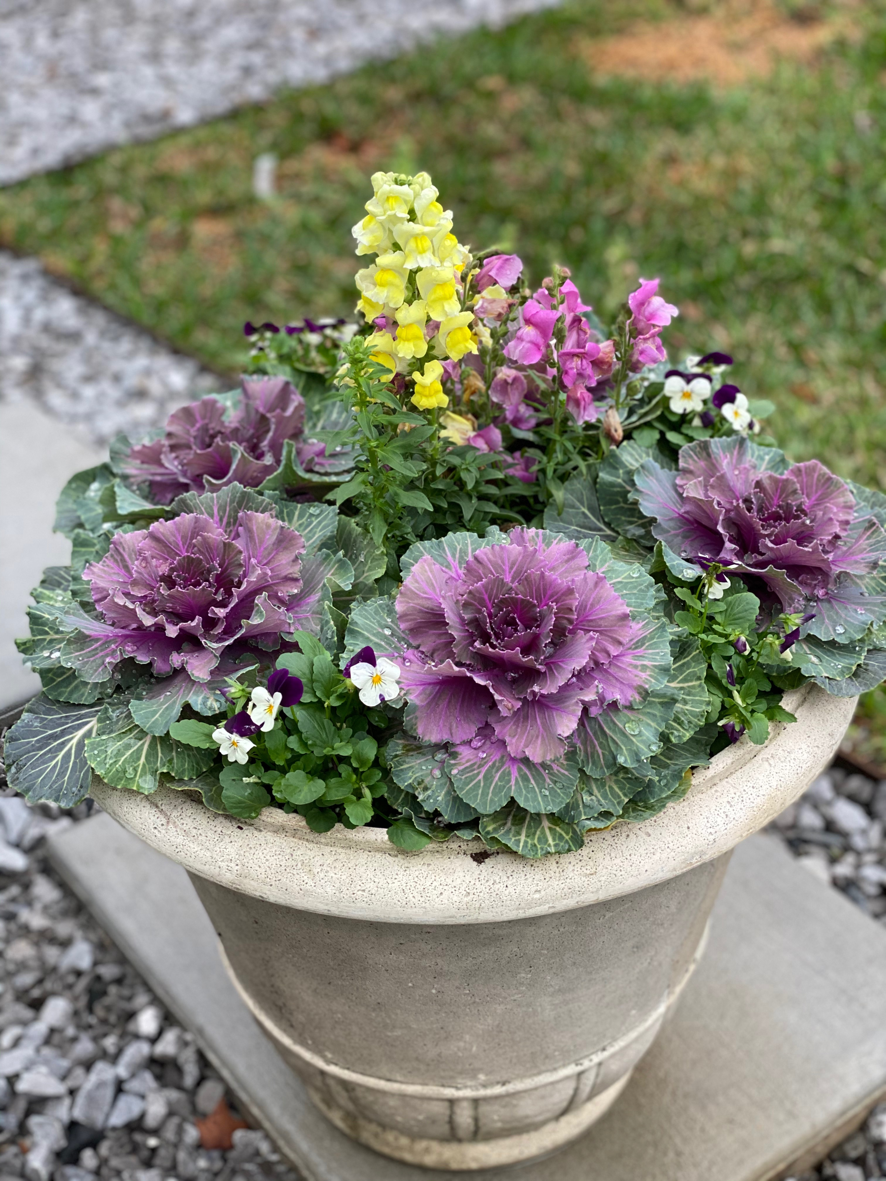 Ornamental kale snapdragons and sorbet violas make a dazzling container plant display.JPG thumbnail